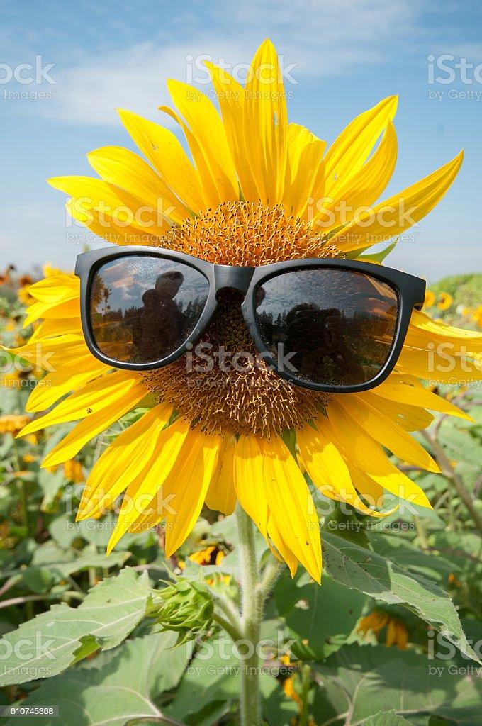 Sunflower wears sunglasses stock photo