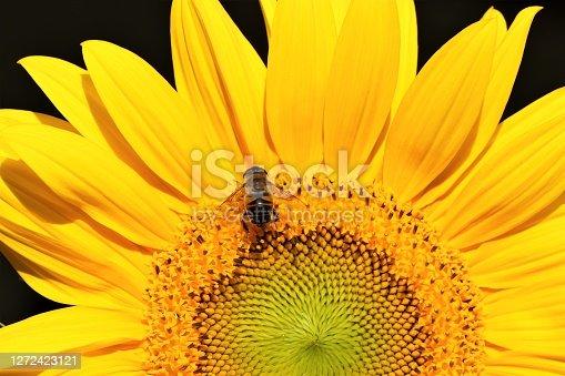 Sonnenblume mit einer Biene