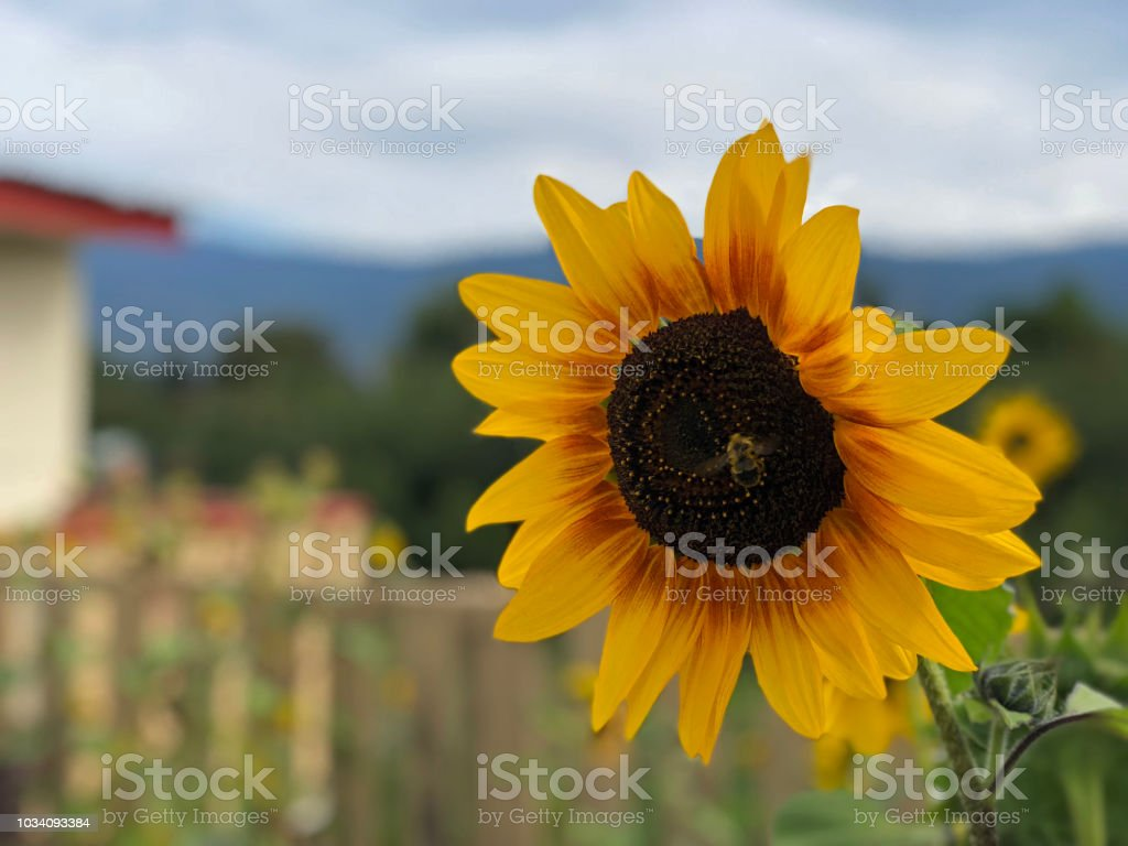 Sunflower with a bee on it stock photo