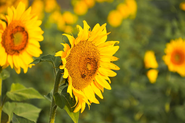 Sunflower with a bee stock photo
