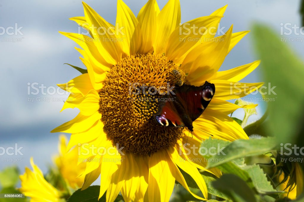 Sunflower with a  butterfly stock photo