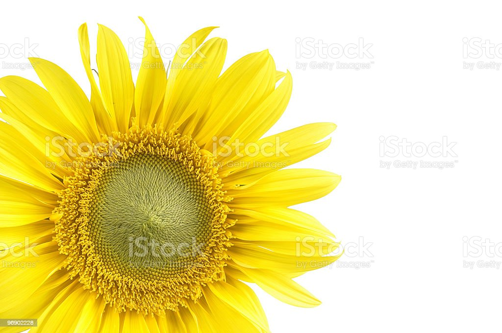 Sunflower with a white background royalty-free stock photo