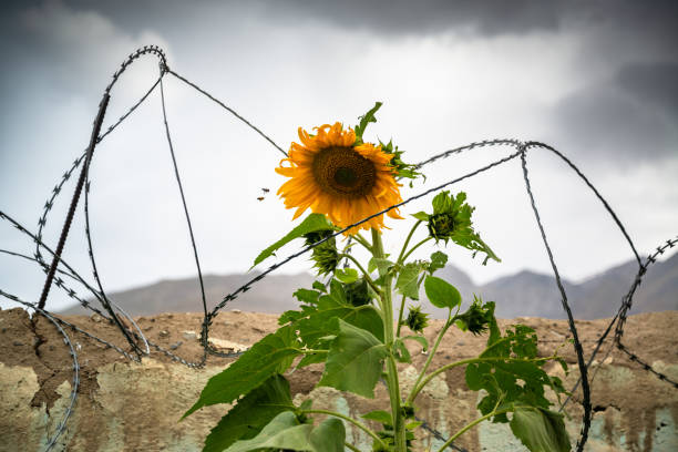 Sunflower with barbed wire around it stock photo