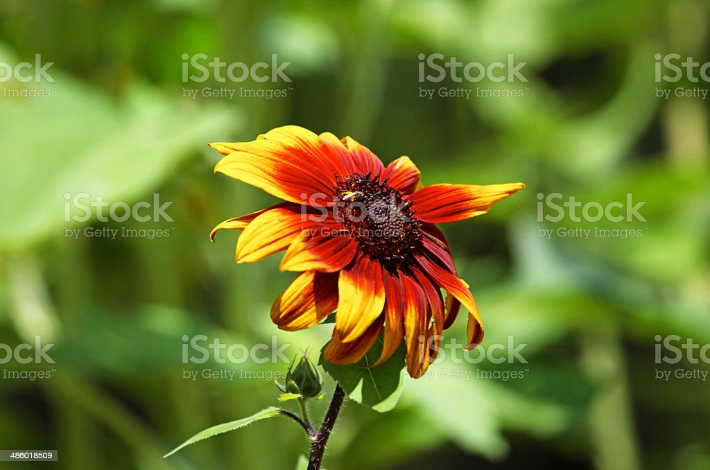 Sunflower with bee in center royalty-free stock photo