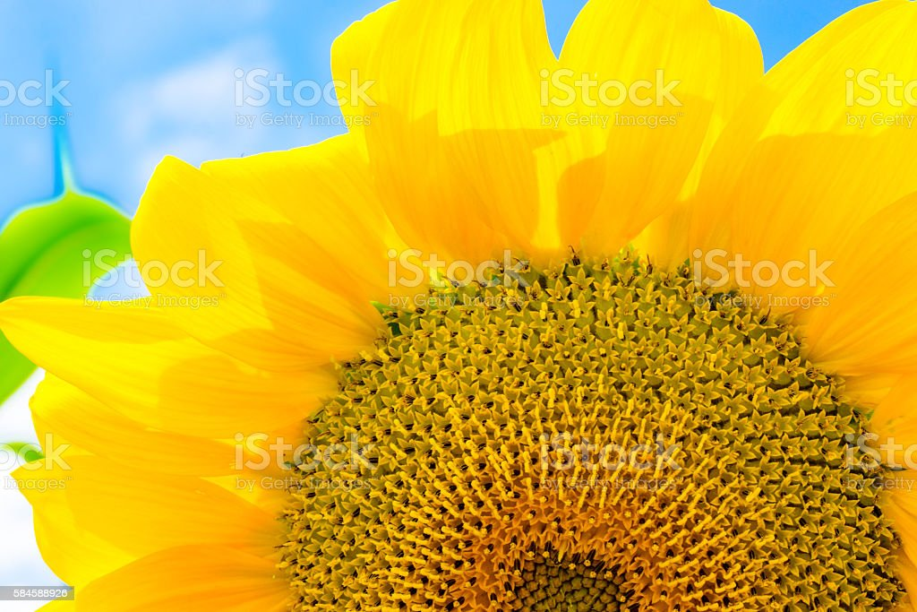 Sunflower with bee in the summer months stock photo