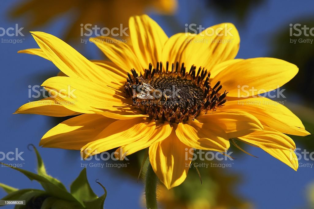 Sunflower with bee royalty-free stock photo