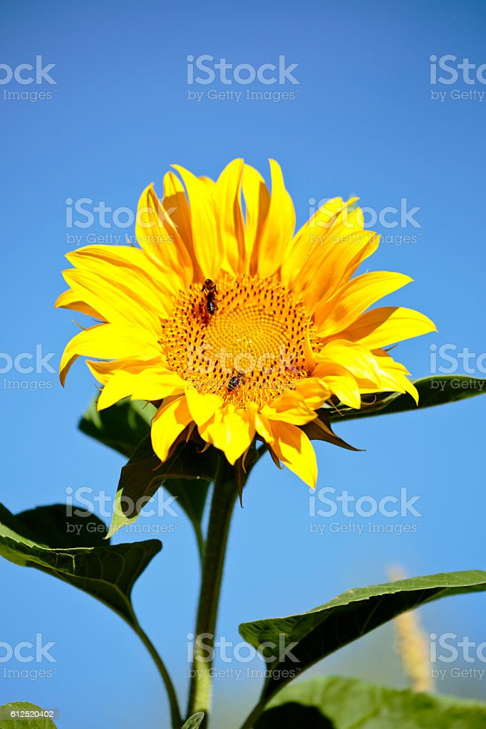 Sunflower with bees in summer. stock photo