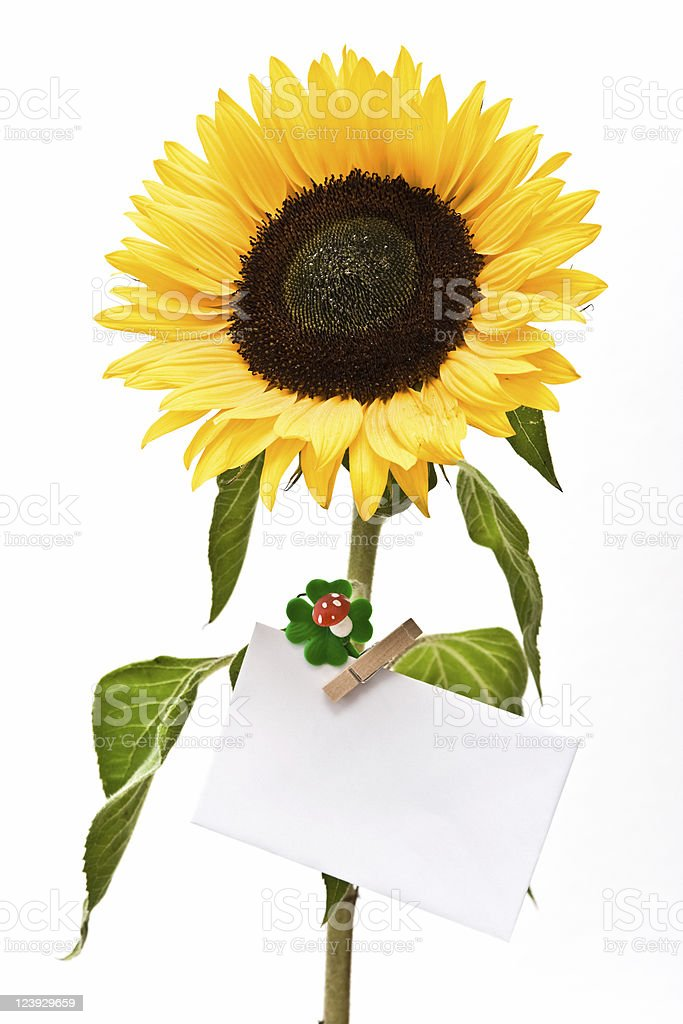 Sunflower with blank note royalty-free stock photo