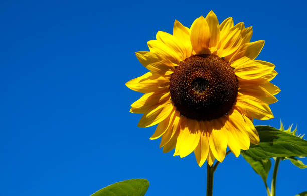 sunflower with blue sky stock photo