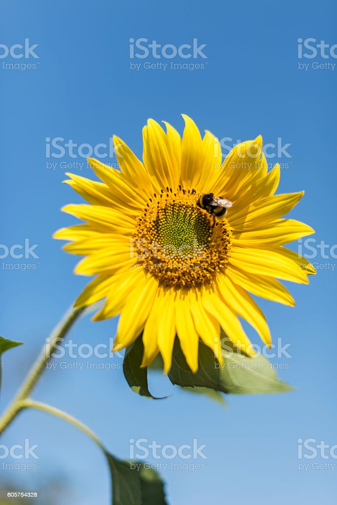 Sunflower with Bumblebee stock photo