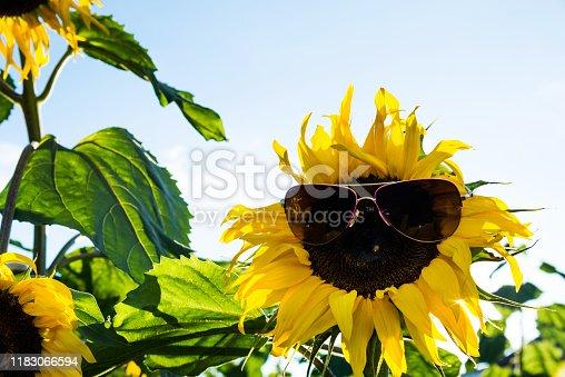 952436894istockphoto Sunflower with eyeglasses under the sky 1183066594