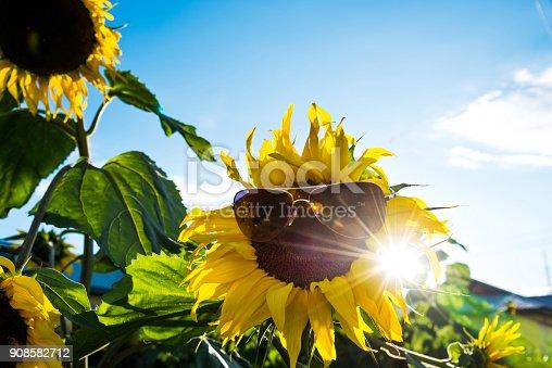 952436894istockphoto Sunflower with eyeglasses under the sun 908582712