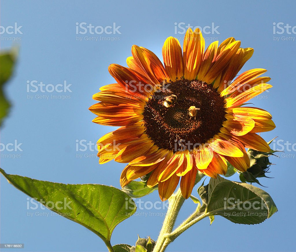 Sunflower with face smile foto royalty-free stock photo