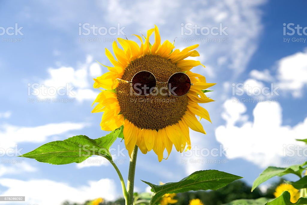 Sunflower with glasses growing up in the field stock photo