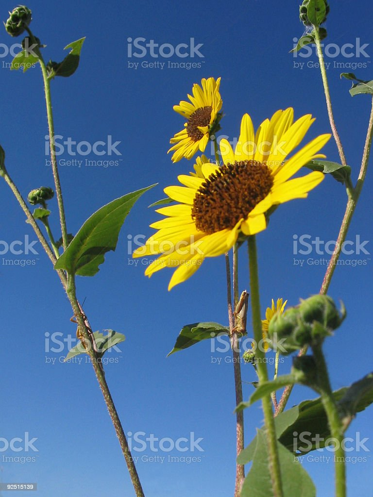 Sunflower With Grasshoppers royalty-free stock photo