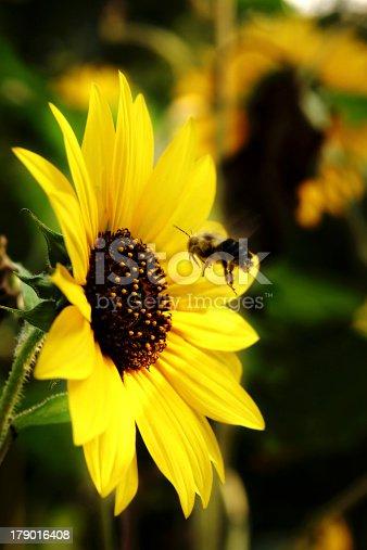 honeybee hovering in front of sunflower