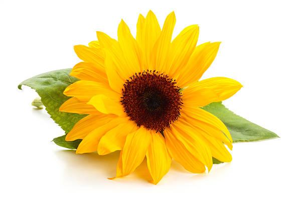sonnenblume und blätter. - sonnenblume stock-fotos und bilder