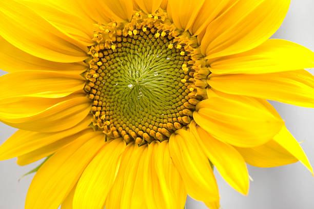 Sunflower with morningdew stock photo