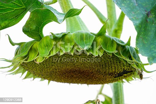 Sunflower with ripe seeds in the garden