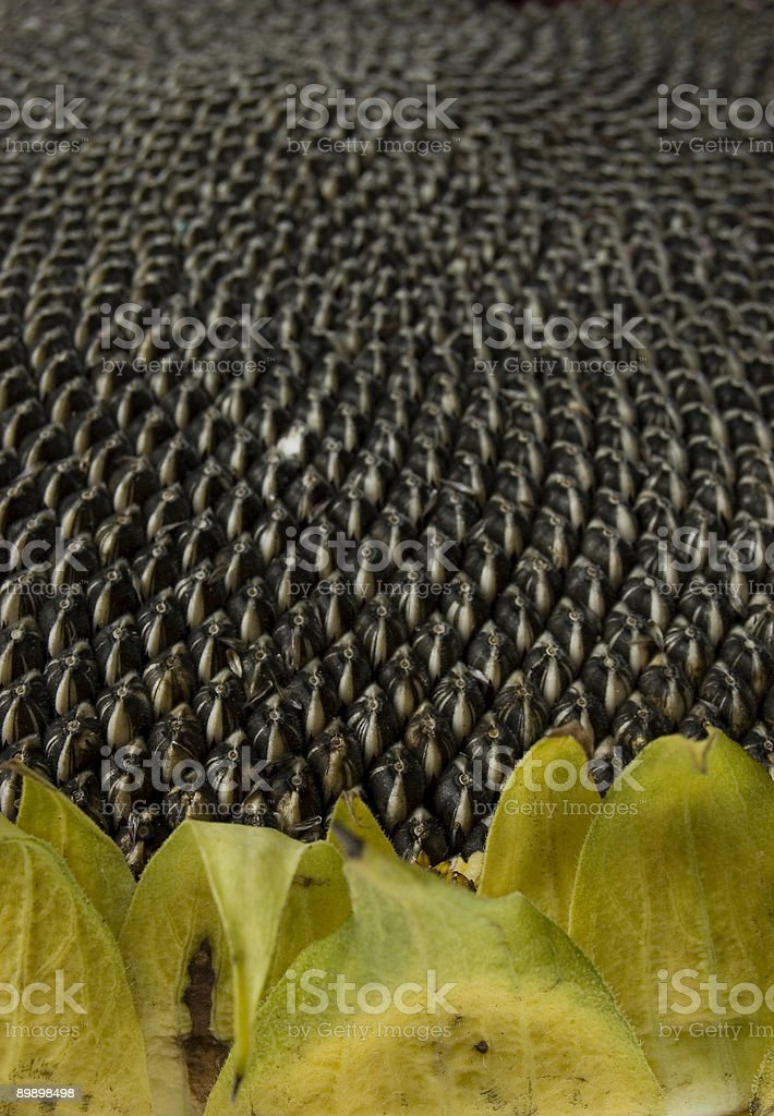 Sunflower with seeds royalty-free stock photo
