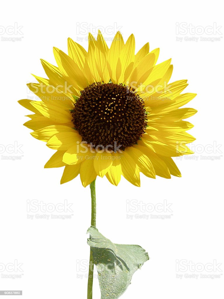 Sunflower with stem isolated on white royalty-free stock photo