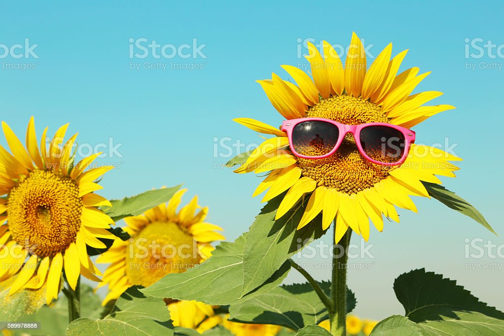 Sunflower with sunglasses in the field stock photo