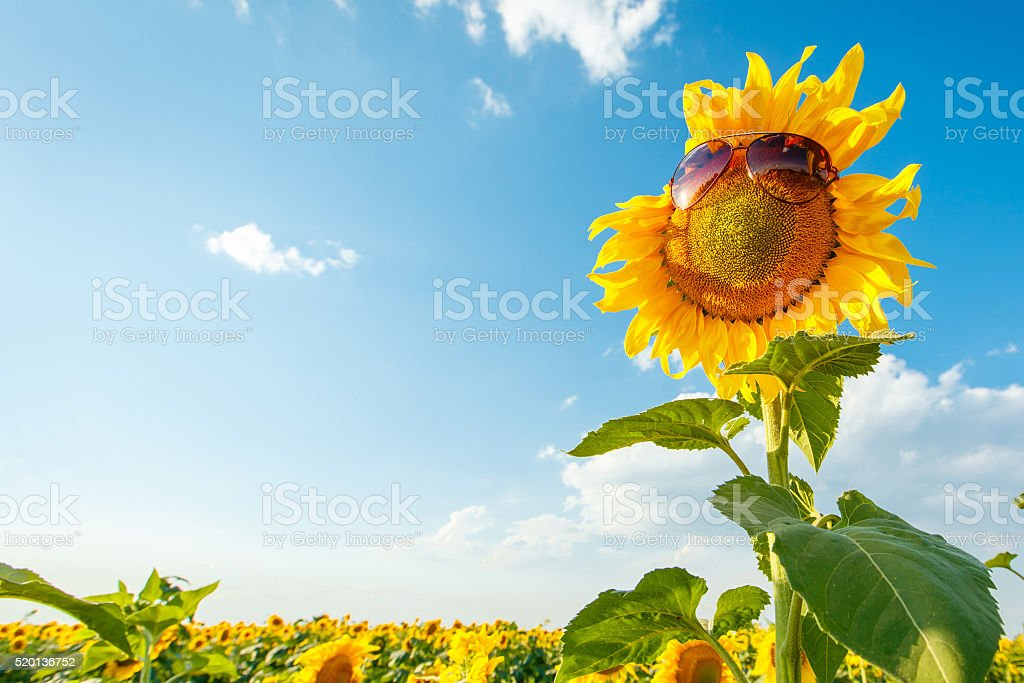 Sunflower with sunglasses on a field stock photo