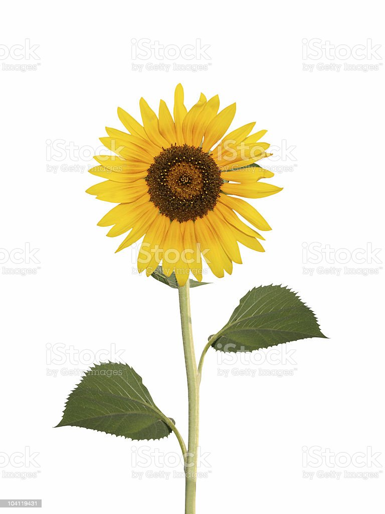 Sunflower XL royalty-free stock photo