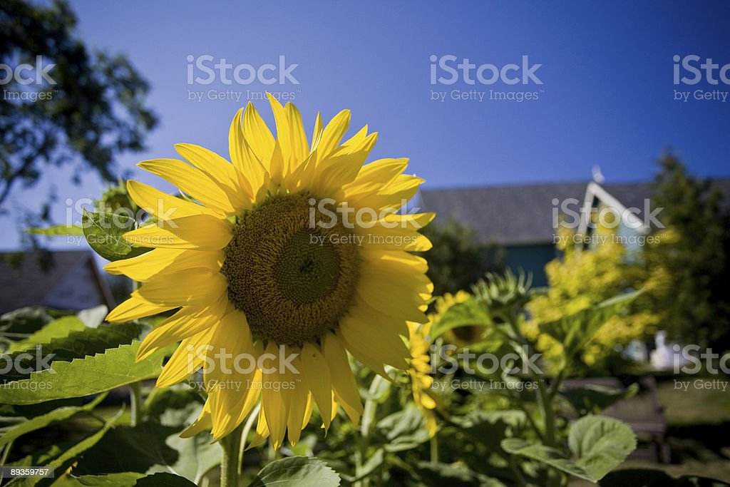 Sunflower2 foto stock royalty-free