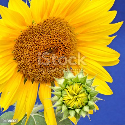 istock sunflower-mother with baby 94288902