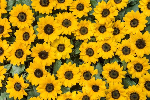 sunflowers agglomeration - sunflower zdjęcia i obrazy z banku zdjęć