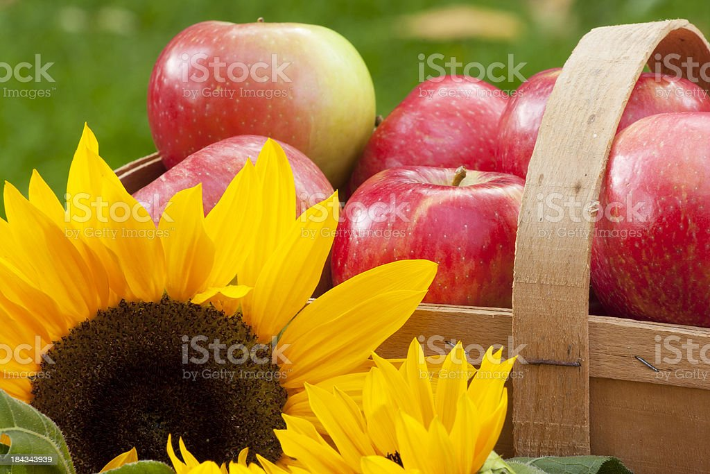 Sunflowers and Apple Basket stock photo