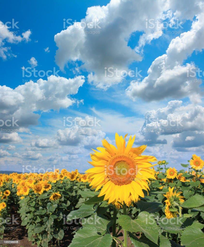 Sunflowers and beautiful sky royalty-free stock photo