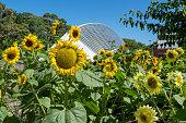Sunflowers and Bicentennial Conservatory at Adelaide Botanic Garden