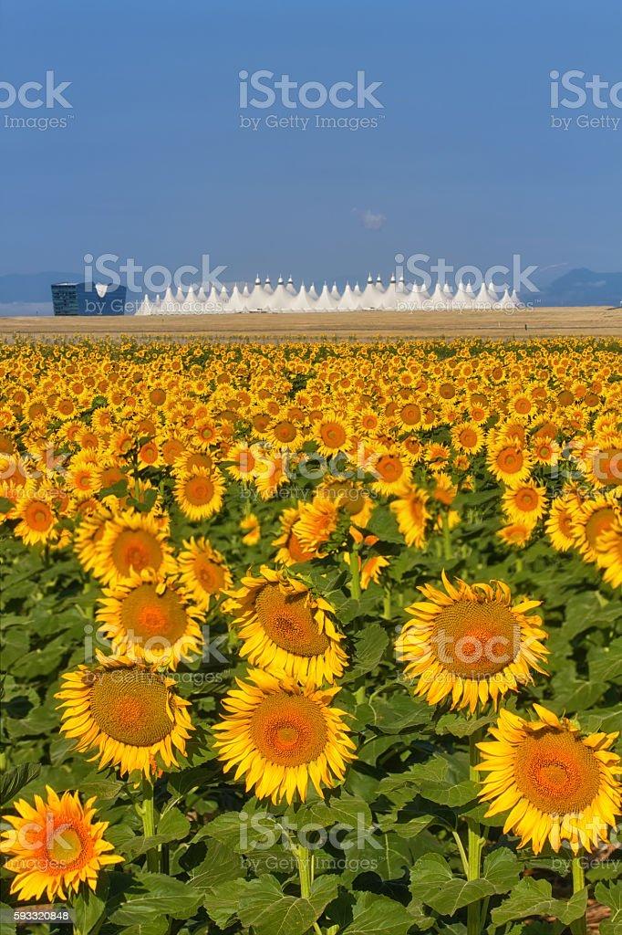 Sunflowers and Denver International Airport - foto de acervo