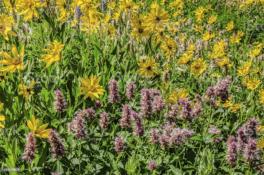 Sunflowers and Horsemint royalty-free stock photo