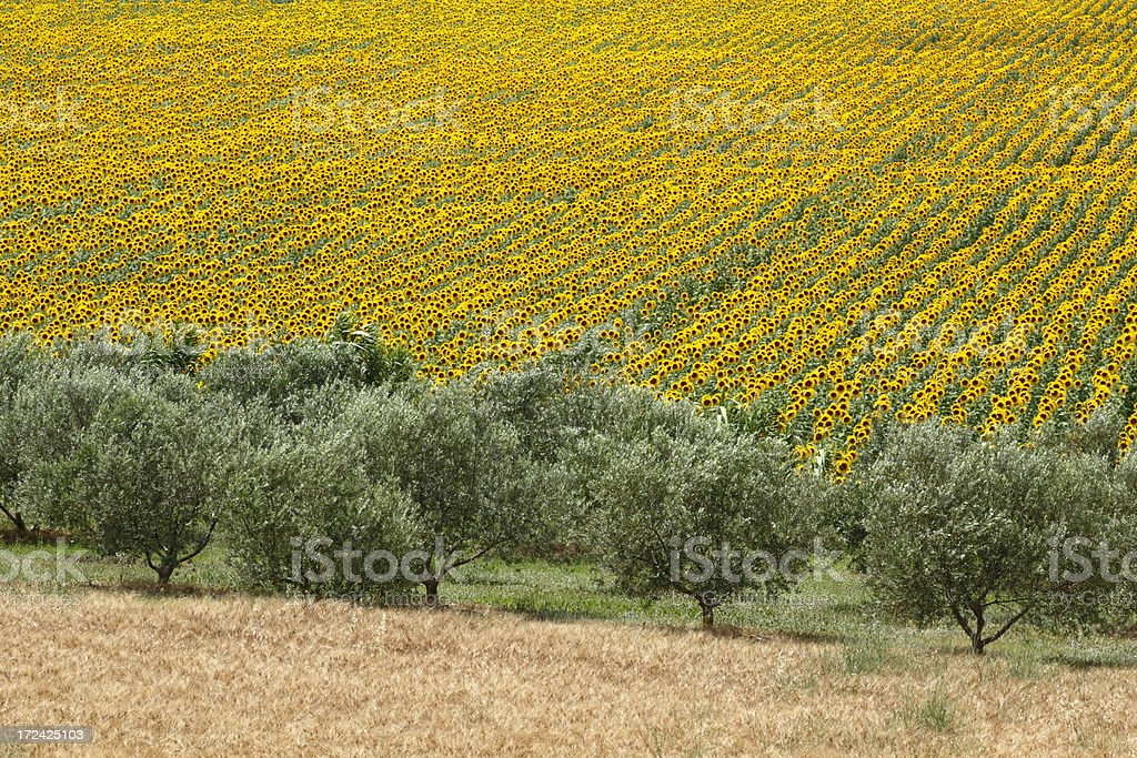 Sunflowers and olive trees stock photo