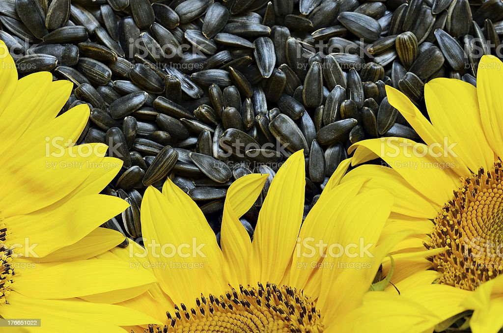 Sunflowers and seeds royalty-free stock photo