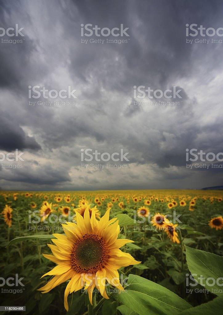 sunflowers and storm royalty-free stock photo
