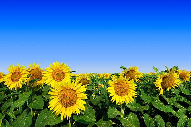 Sonnenblumen und blauer Himmel – Foto