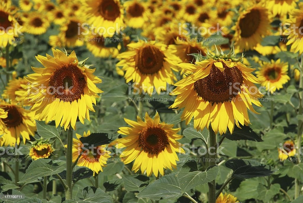 Sunflowers, Andalusia, Spain. royalty-free stock photo