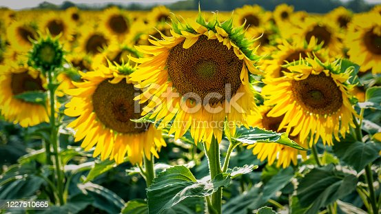 sunflowers are on the field in summer