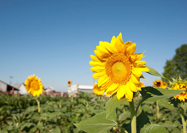 Sunflowers as a pair stock photo