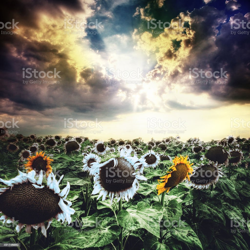 Sunflowers at colorful sunset stock photo