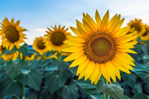 Sunflowers garden,  have abundant health benefits. Sunflower oil improves skin health and promote cell regeneration. Dawn in the sunflowers field during summer sunset.