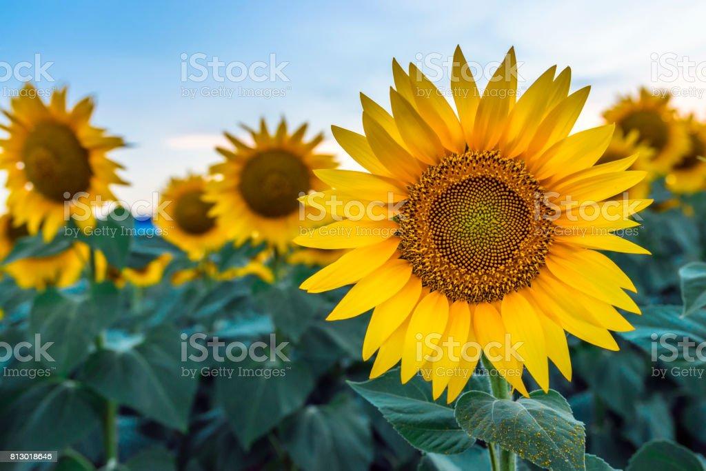 sunflowers at dawn stock photo