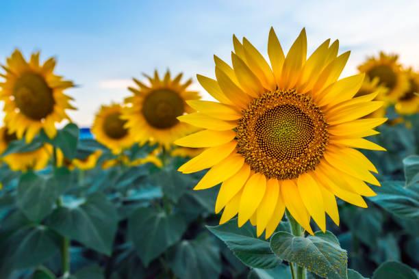 sonnenblumen im morgengrauen - sonnenblume stock-fotos und bilder