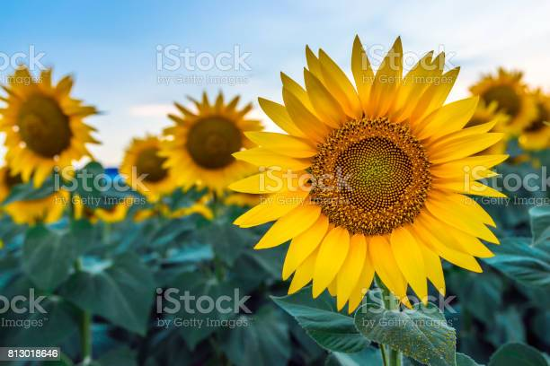 Photo of sunflowers at dawn