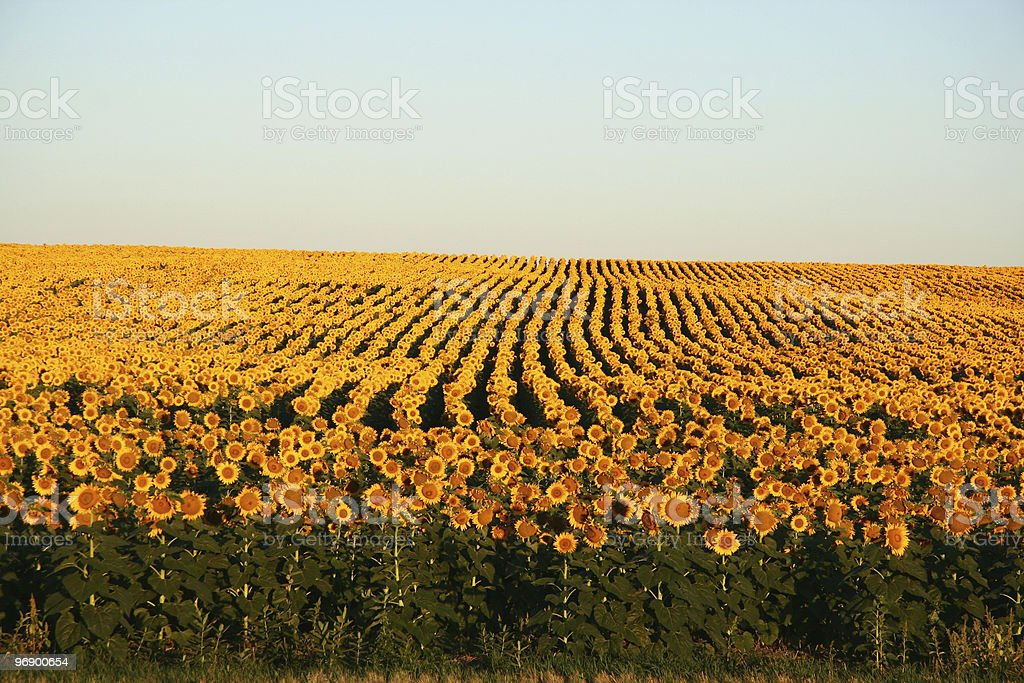 Sunflowers at dawn royalty-free stock photo