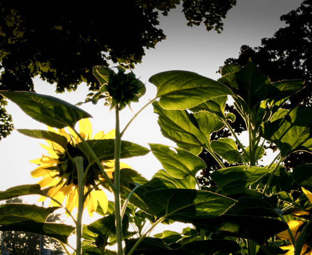Sunflowers at dawn with translucent green leaves stock photo